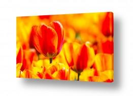 צילומים צילום תקריב | Tulip