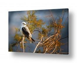 צילומים טניה קלימנקו | דאה שחורת-כתף