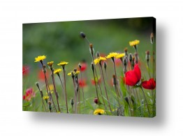 פרחים כלנית | אביב בפתח