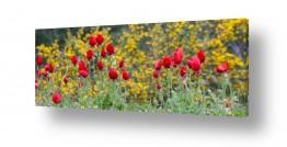 פרחים פרגים | אדום על צהוב