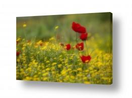 פרחים כלנית | פשוט אדום