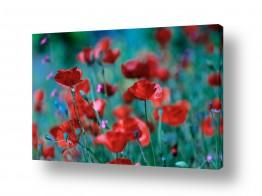 פרחים פרגים | אדום לוהט