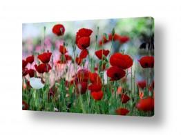 פרחים פרגים | אדום ולבן