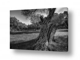 תמונות לפי נושאים צמרות עצים | חורש זיתים בש/ל
