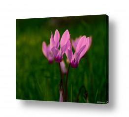 פרחים רקפת | זוהר בדשא