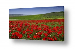 פרחים פרגים | שדות פרג לנצח