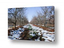 עונות השנה חורף | מטע תפוחים בשלג