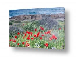 צילומים אורי לינסקיל | פריחה מול הים