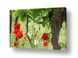 פרחים פרגים | פרגים בכרם