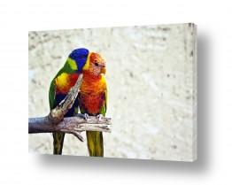 ציפורים תוכי | אהבה